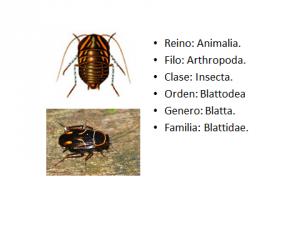 Blatta1